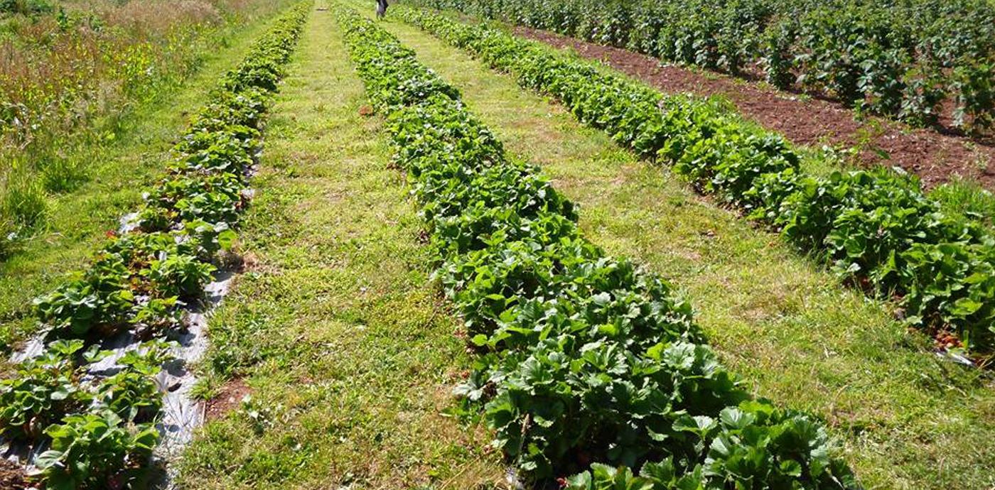 Strawberries Garden